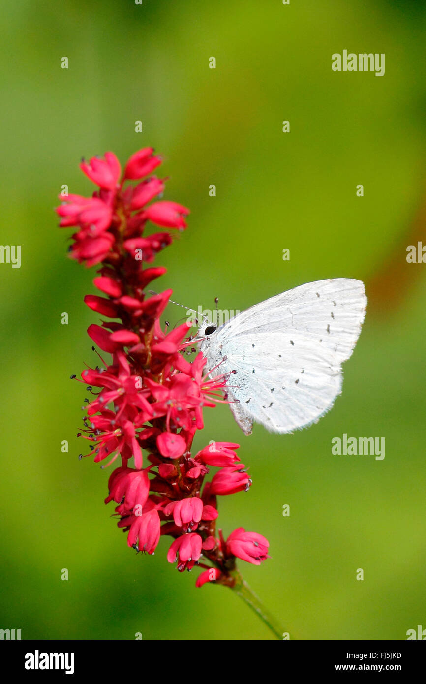 butterfly on smartweed - Stock Image