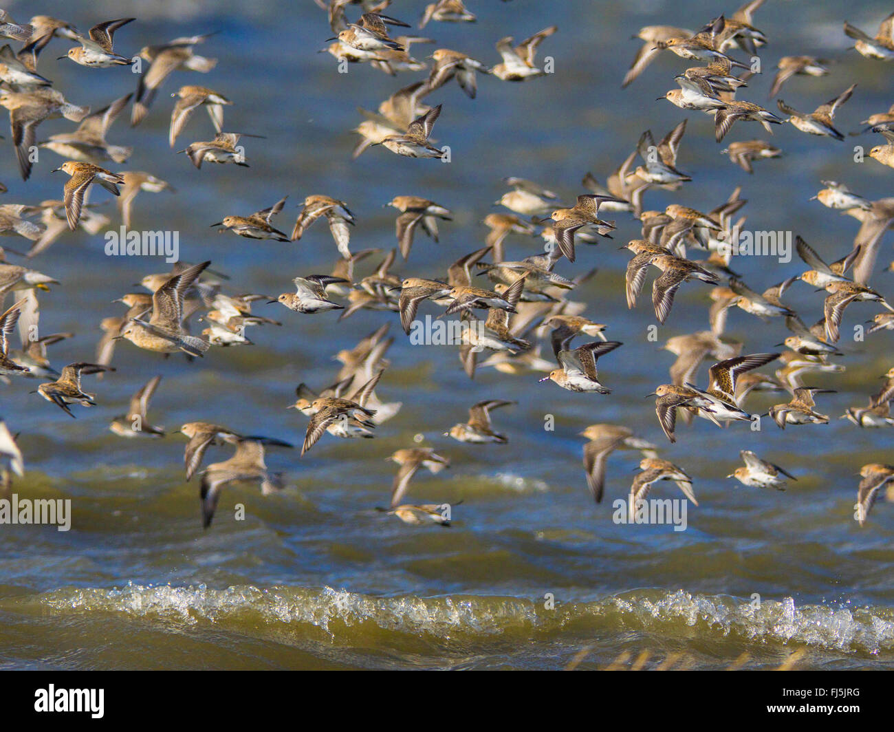 dunlin (Calidris alpina), Flock of birds with dunlins, red knots and grey plover, Germany, Schleswig-Holstein, Schleswig - Stock Image