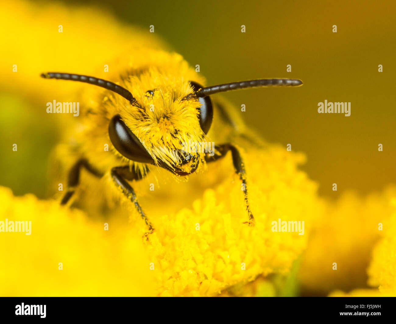 Hairy-saddled Colletes (Colletes fodiens), Male foraging on Tansy (Tanacetum vulgare), Germany - Stock Image