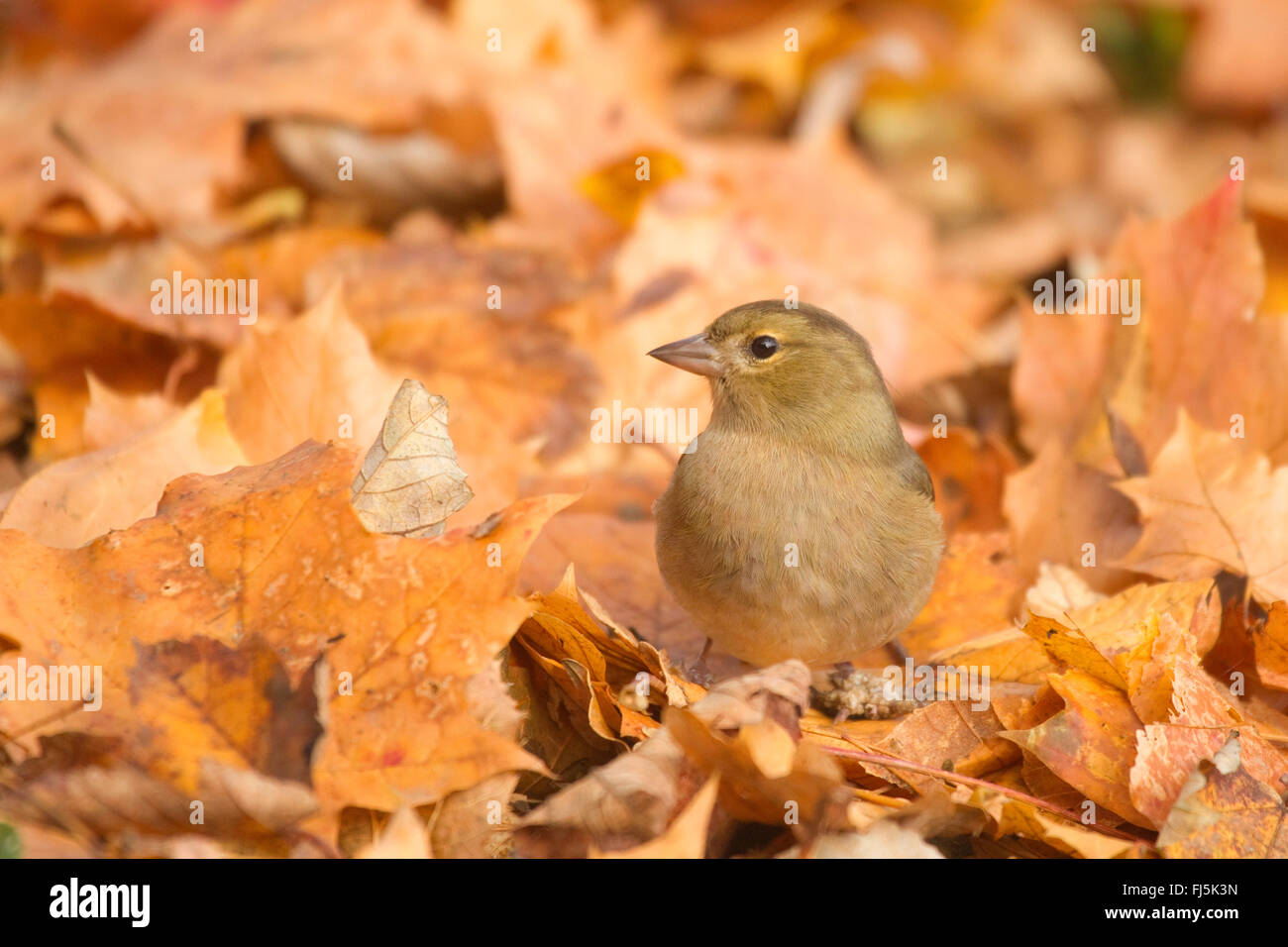 chaffinch (Fringilla coelebs), female sitting between leaves on the forest ground, Germany, North Rhine-Westphalia - Stock Image