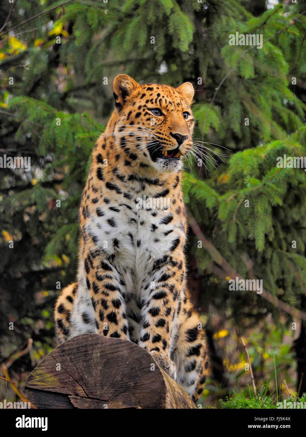Amur leopard (Panthera pardus orientalis), sitting on a tree trunk - Stock Image