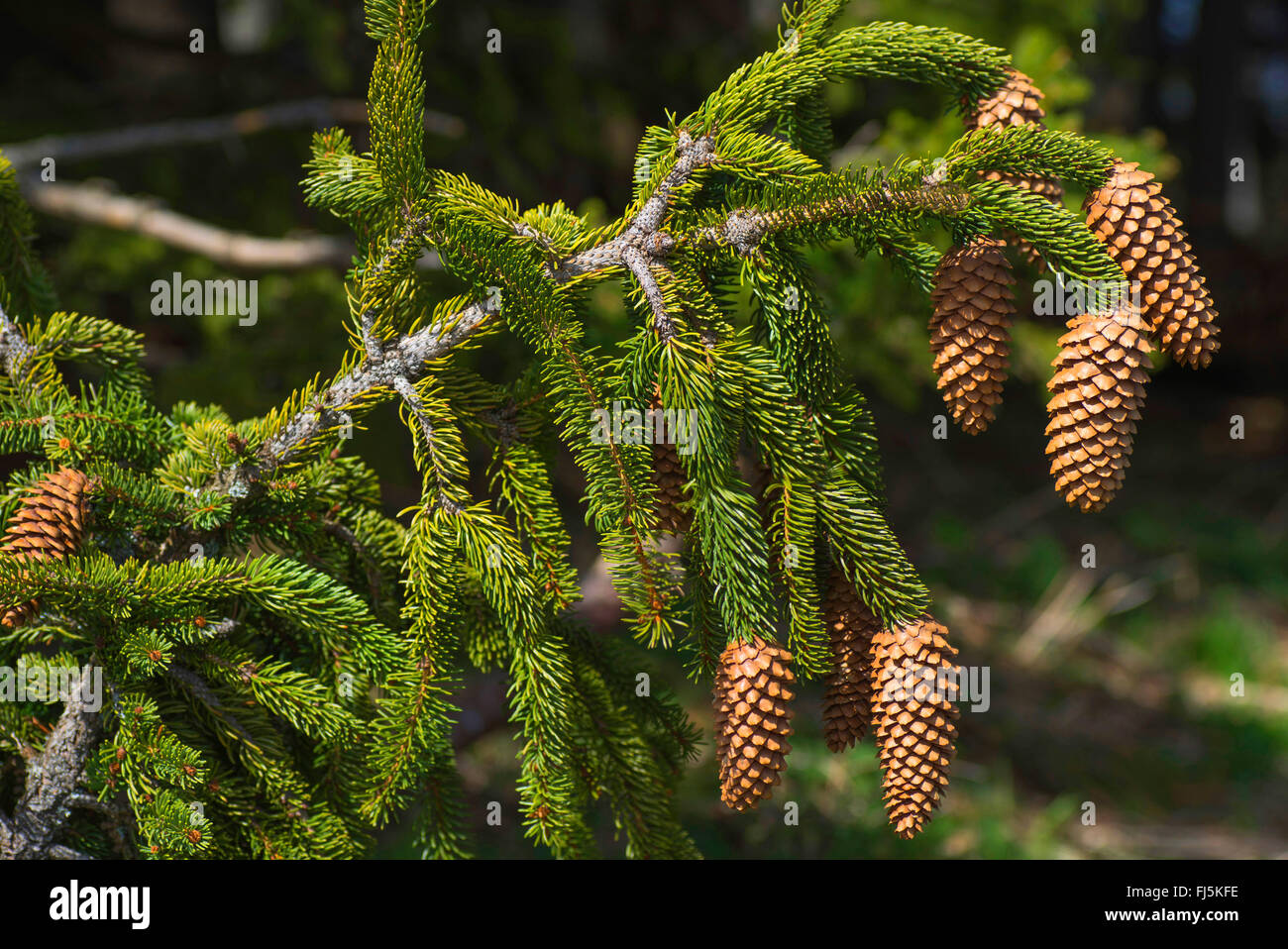 Norway spruce (Picea abies), open spruce cones on a spruce branch, Germany, Bavaria, Oberbayern, Upper Bavaria - Stock Image