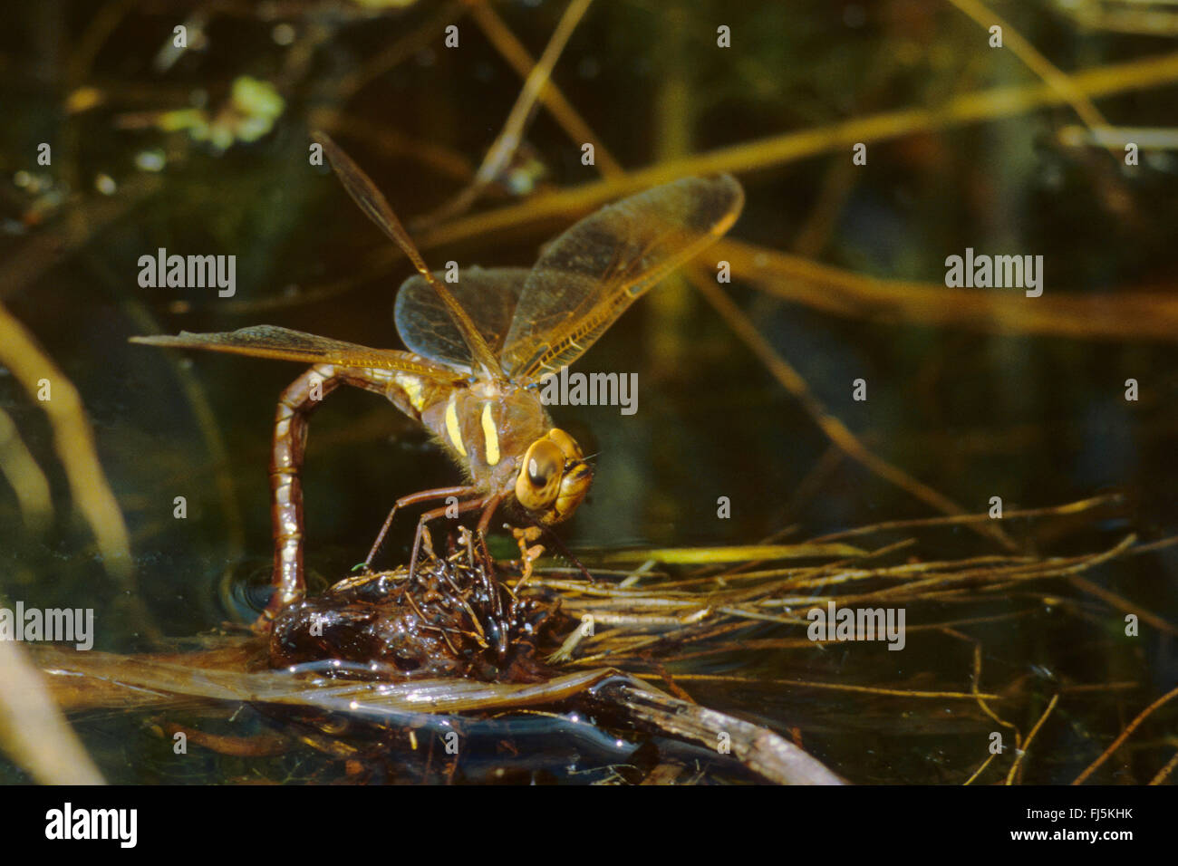 brown aeshna, brown hawker, great dragonfly (Aeshna grandis), female laying eggs, Germany - Stock Image