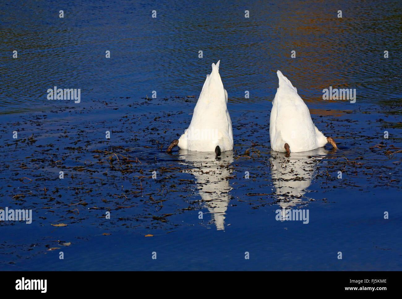 mute swan (Cygnus olor), two dabbling mute swans , Germany Stock Photo