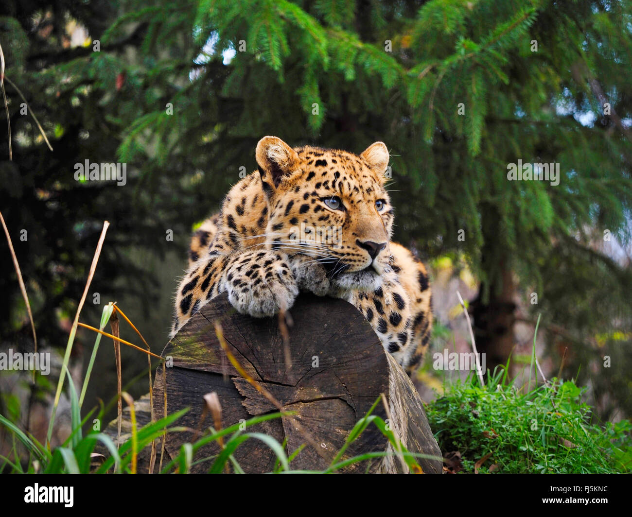 Amur leopard (Panthera pardus orientalis), lying on a tree trunk - Stock Image