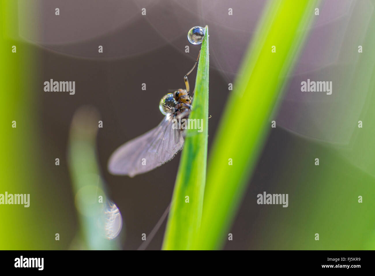 insect on a leaf with a drop of water, Germany, Saxony, Vogtlaendische Schweiz - Stock Image