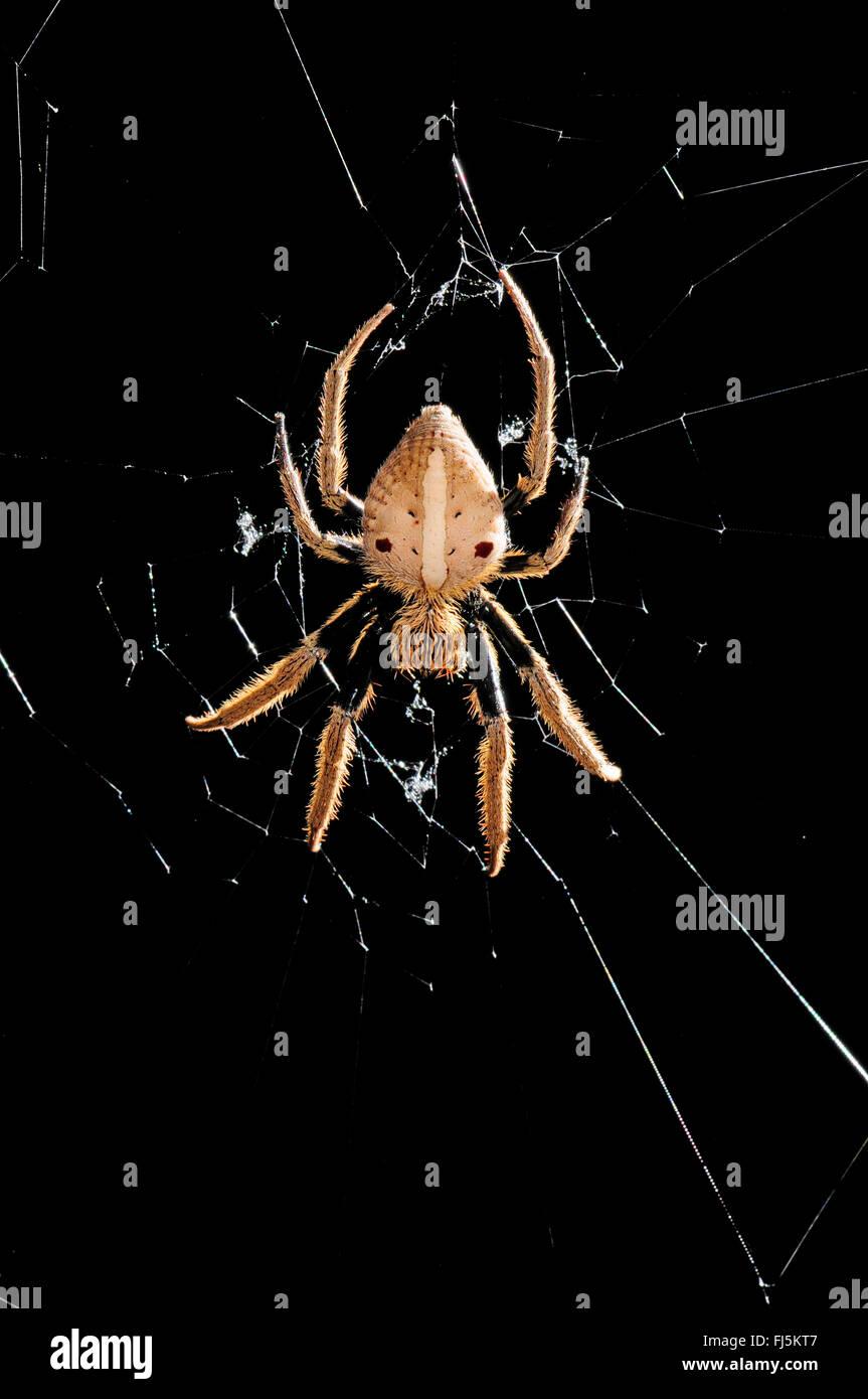 orbweavers, orb-weaving spiders (broad-bodied orbweavers) (Araneidae), spider in its web, New Caledonia, Il des - Stock Image
