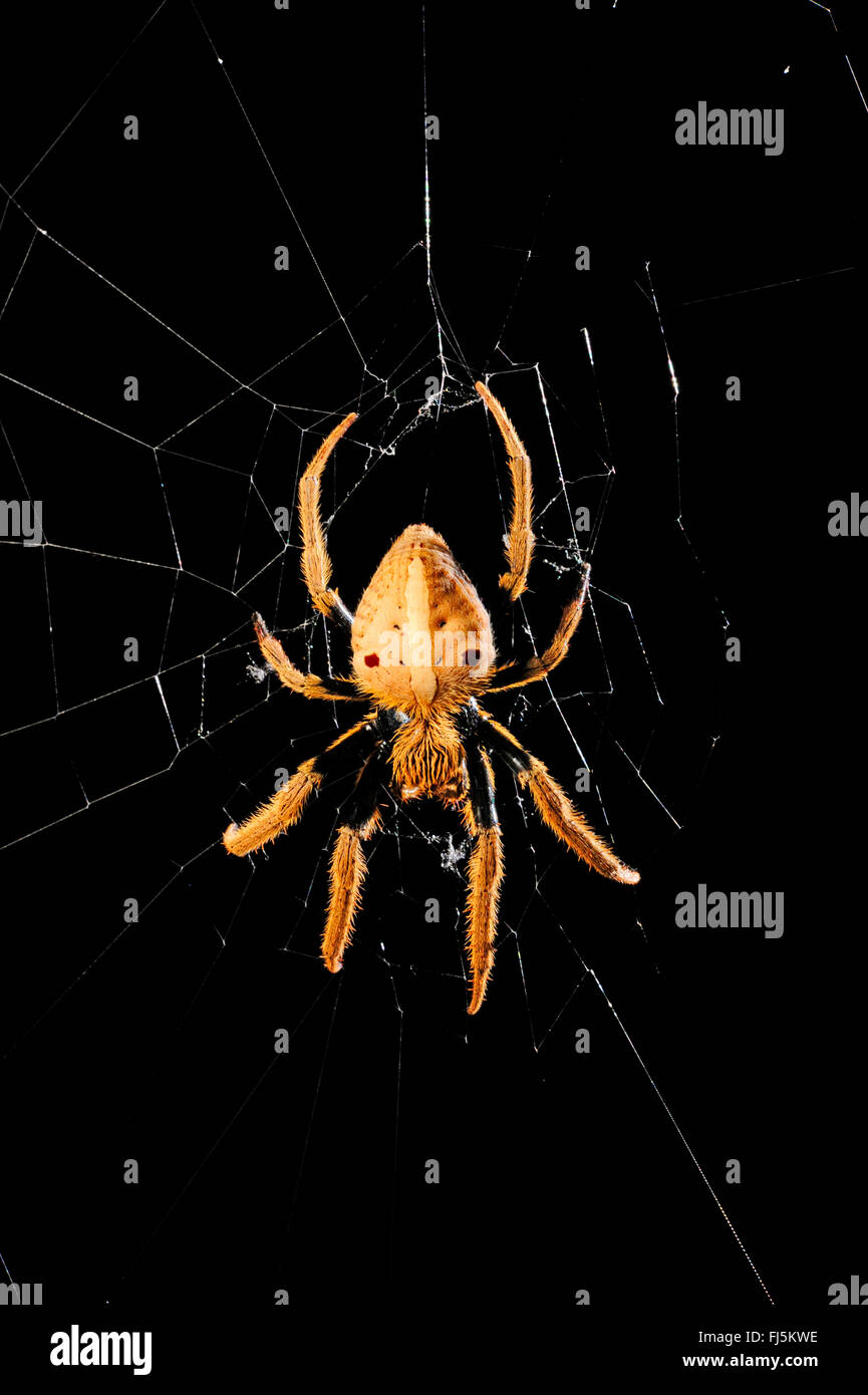 orbweavers, orb-weaving spiders (broad-bodied orbweavers) (Araneidae), spider in its web, New Caledonia, Il des - Stock Image