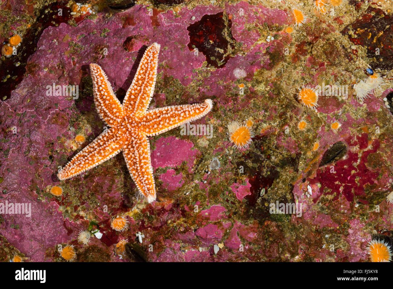 common starfish, common European seastar (Asterias rubens), at reef - Stock Image