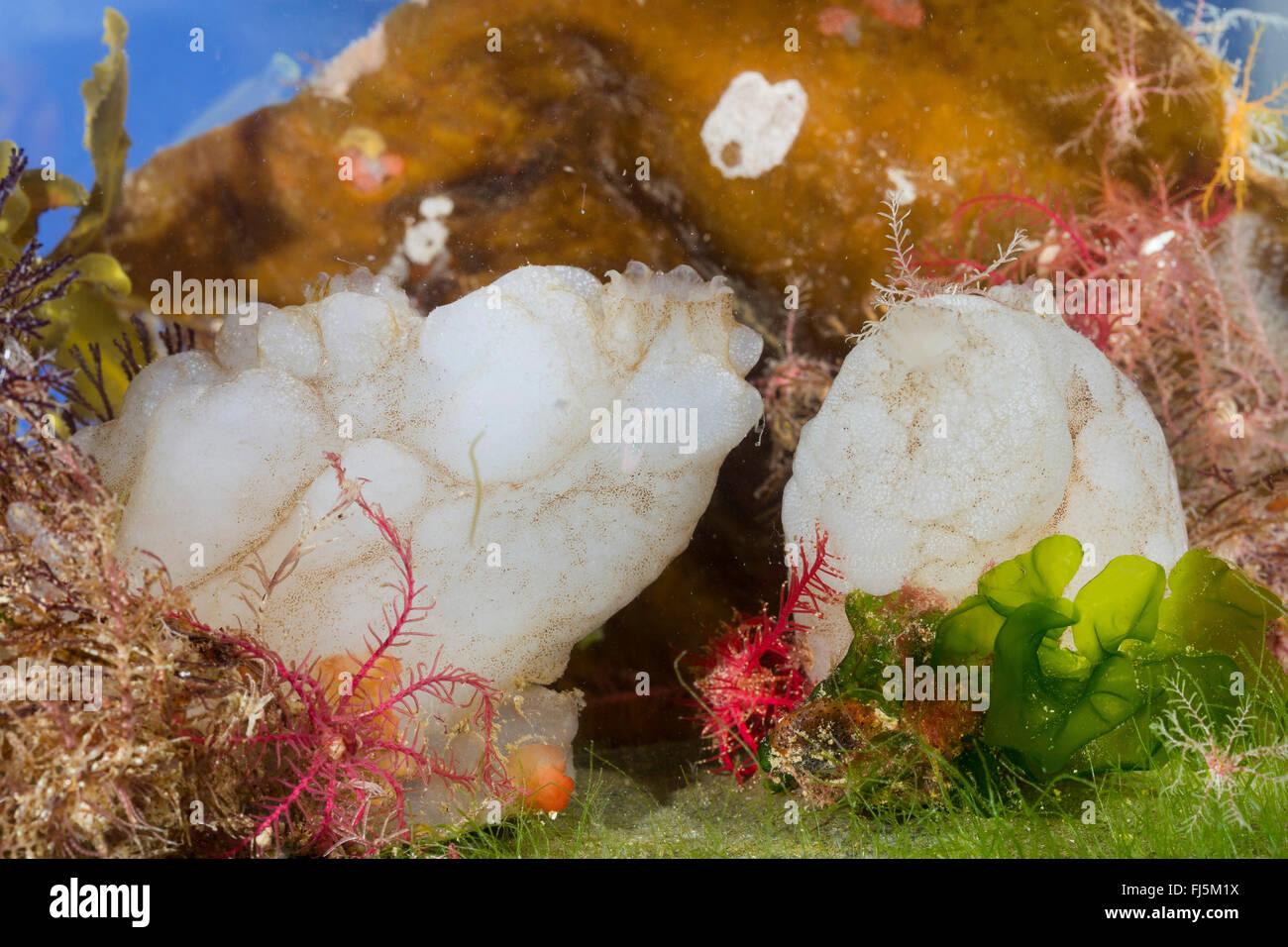 white sea-squirt, white sea squirt (Phallusia mammillata, Ascidia mammillata), two white sea-squirts on a stone - Stock Image