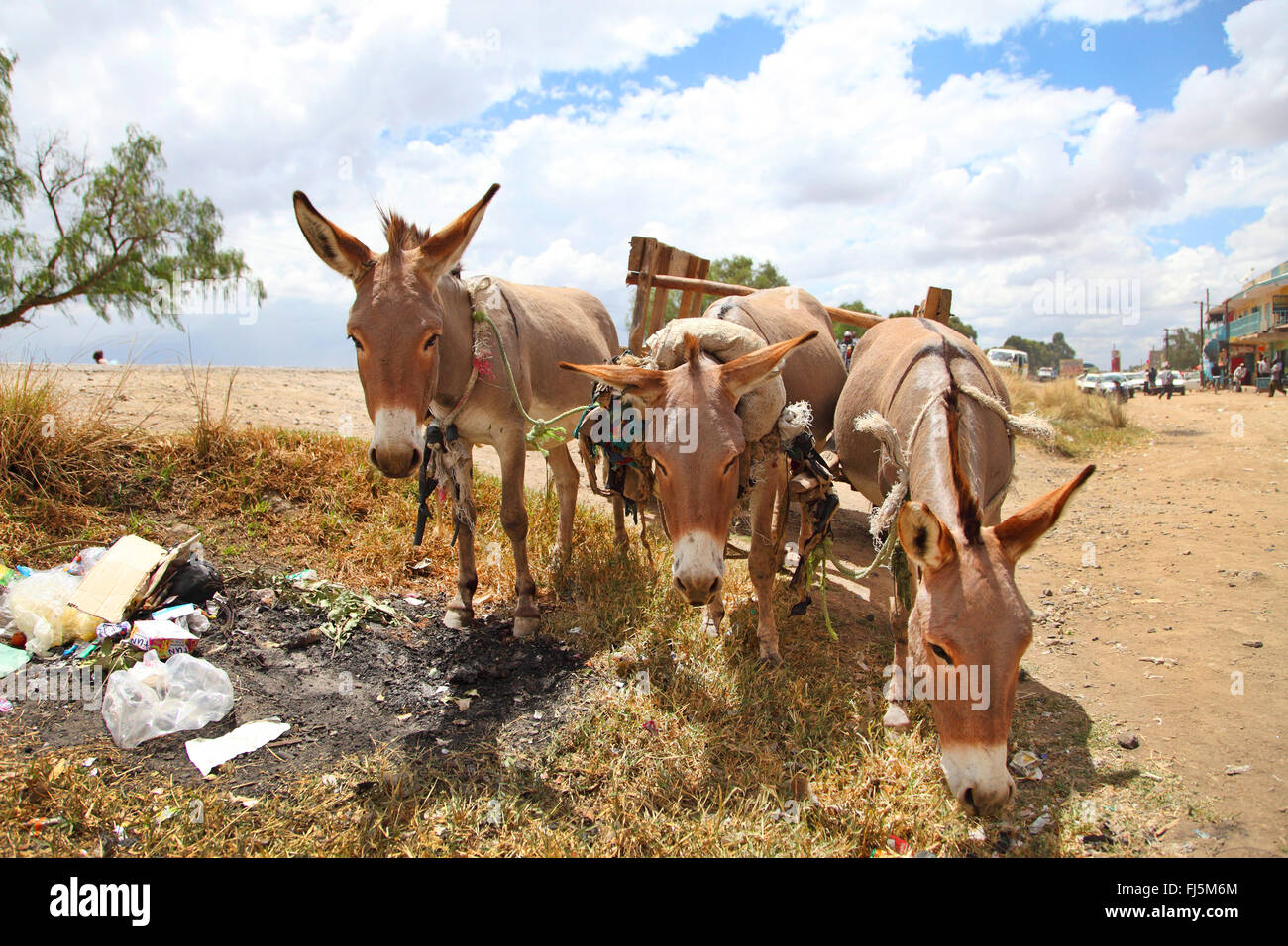Domestic donkey (Equus asinus asinus), three domestic donkeys, Kenya - Stock Image
