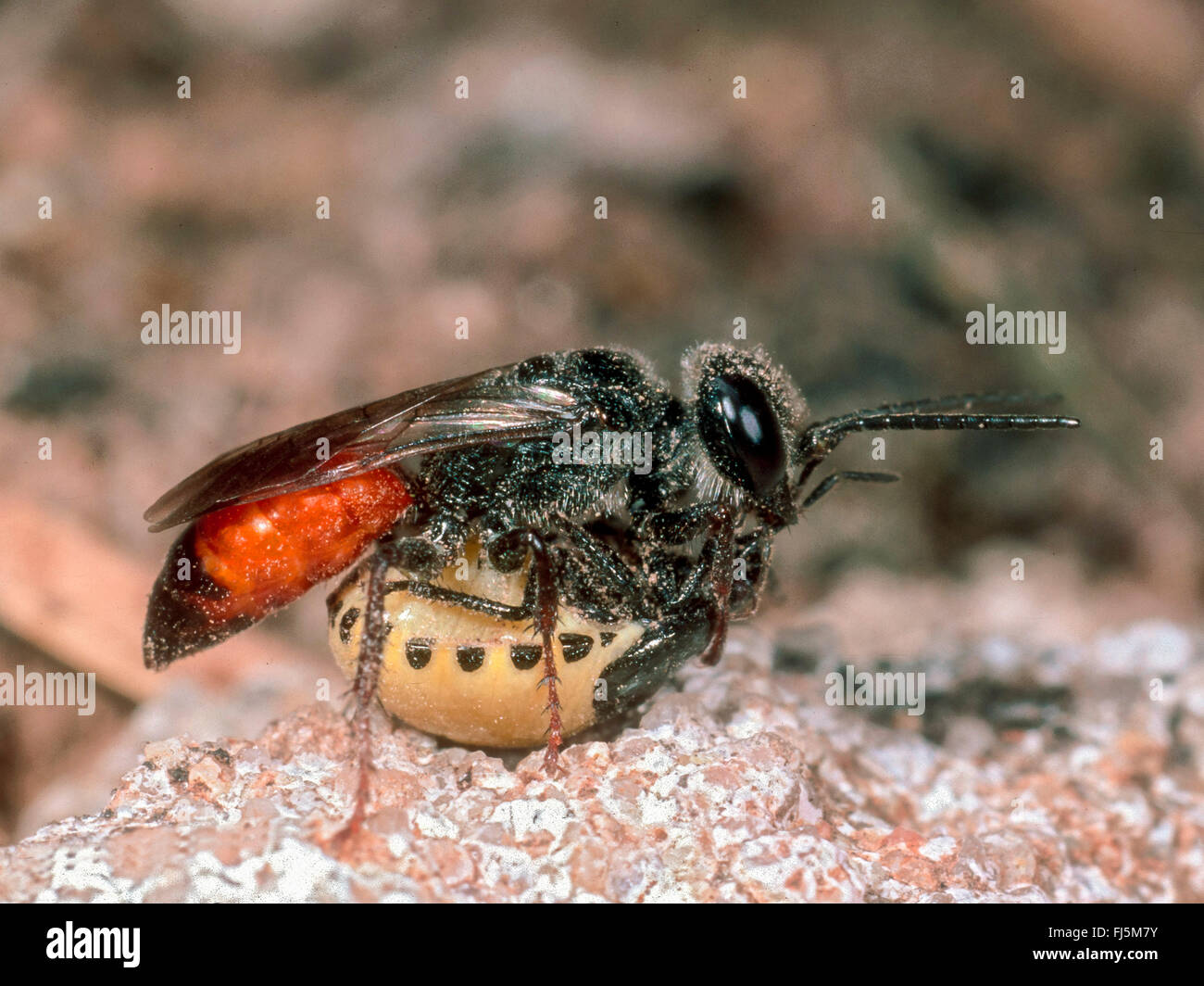 shild-backed bug (Astata boops), Female with Shield-backed Bug larva as prey, Germany - Stock Image