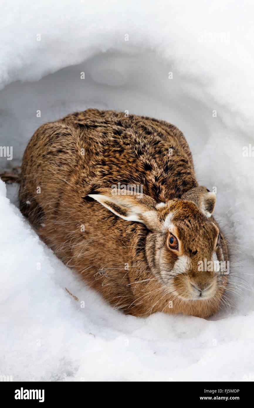 European hare, Brown hare (Lepus europaeus), in pit in snow, Austria, Burgenland, Seewinkel Stock Photo
