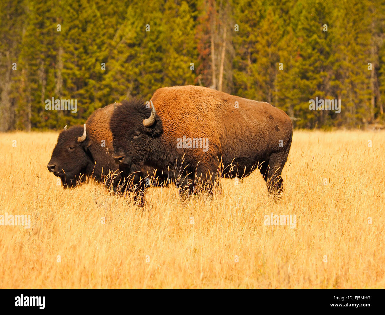 American bison, buffalo (Bison bison), bull and female in mating season, USA, Wyoming, Yellowstone National Park - Stock Image