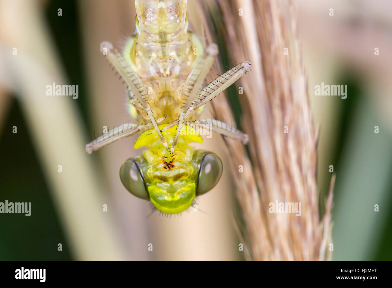 blue-green darner, southern aeshna, southern hawker (Aeshna cyanea), portrait of the newly hatched dragonfly, Germany, - Stock Image