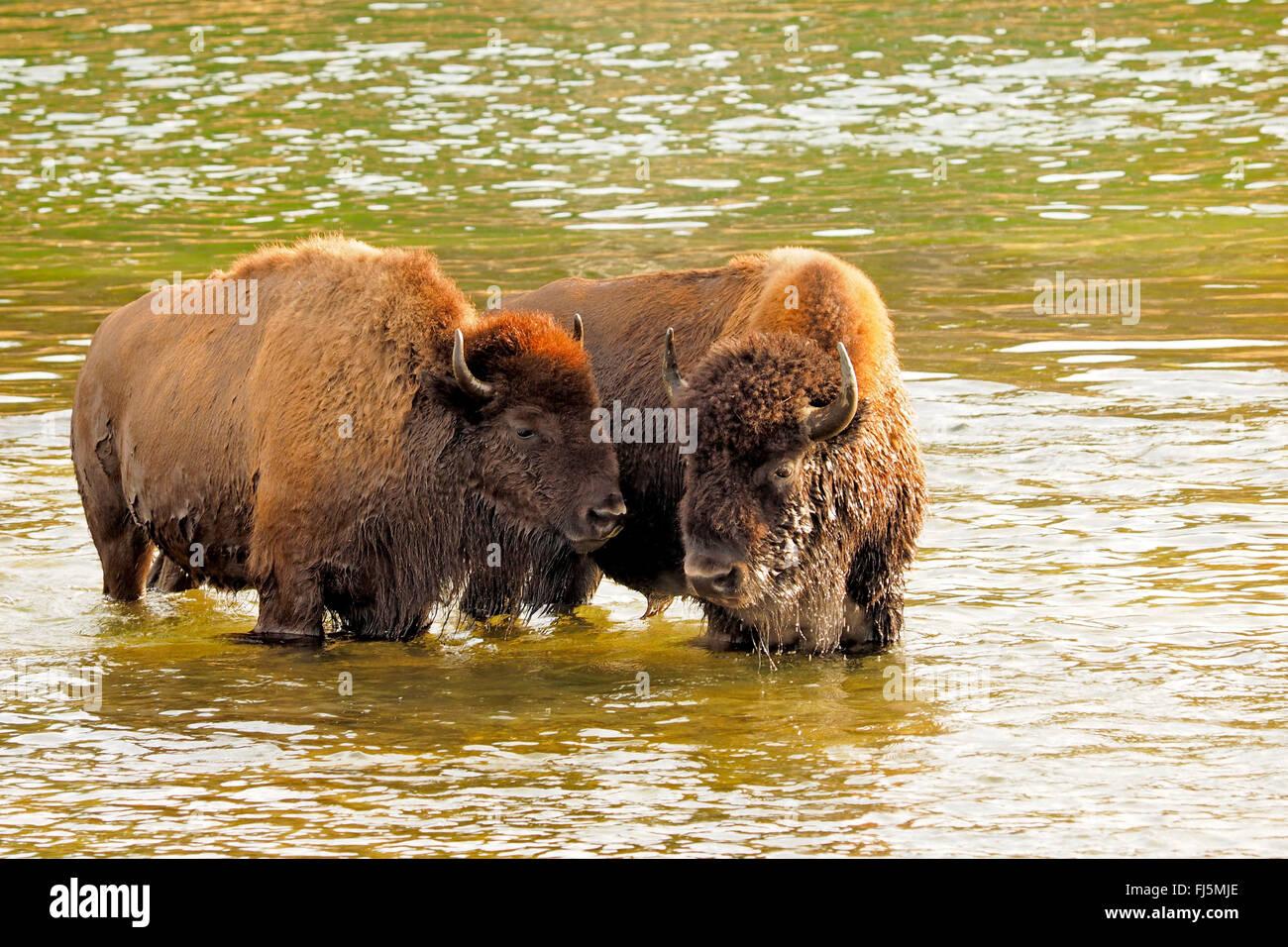 American bison, buffalo (Bison bison), buffalos crossing Yellowstone River, USA, Wyoming, Yellowstone National Park, - Stock Image