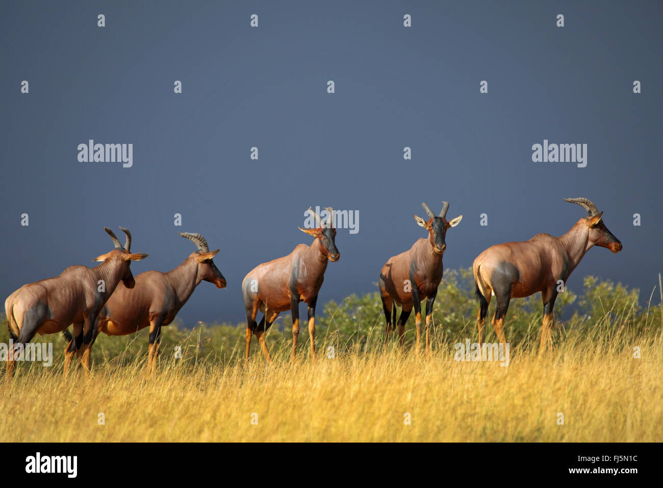 topi, tsessebi, korrigum, tsessebe (Damaliscus lunatus jimela), five topis standing together on high grass, Kenya, - Stock Image