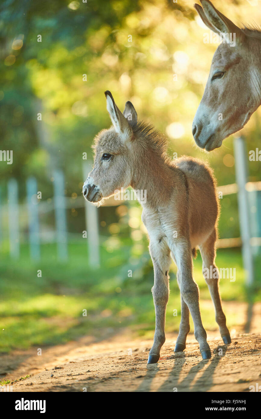 Domestic donkey (Equus asinus asinus), donkey foal standing by its mother, Germany - Stock Image