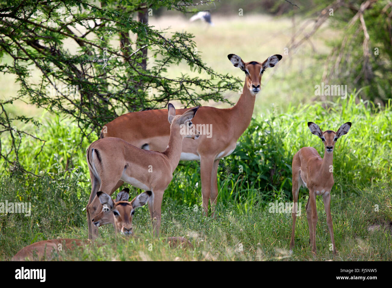 impala (Aepyceros melampus), impalas with young animals resting in the shadow of a bush, Tanzania - Stock Image
