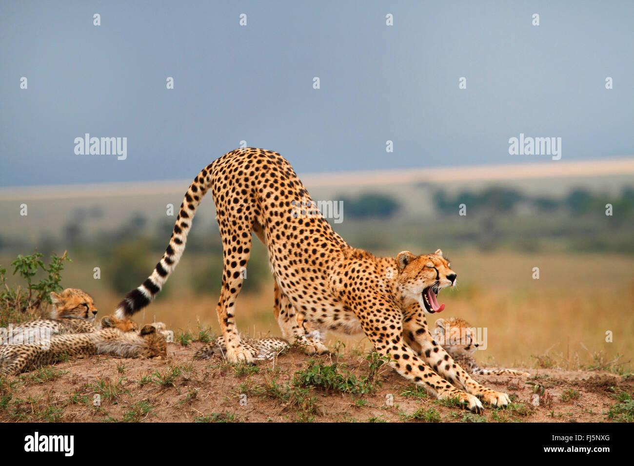 cheetah (Acinonyx jubatus), family in savannah, Kenya, Masai Mara National Park - Stock Image