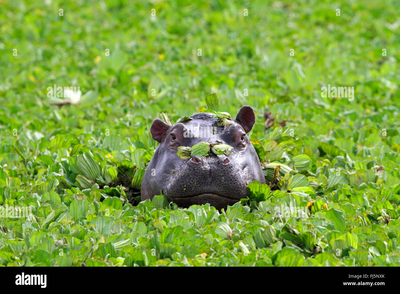 hippopotamus, hippo, Common hippopotamus (Hippopotamus amphibius), looking out water cabbages, portrait, Kenya, - Stock Image