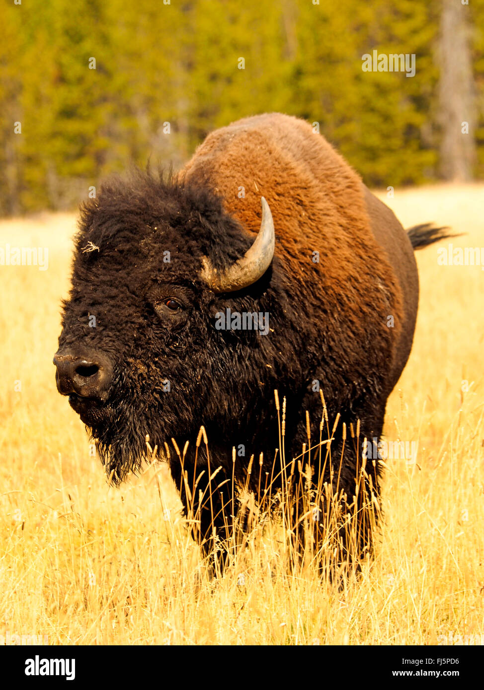 American bison, buffalo (Bison bison), bull, USA, Wyoming, Yellowstone National Park, Hayden Valley - Stock Image