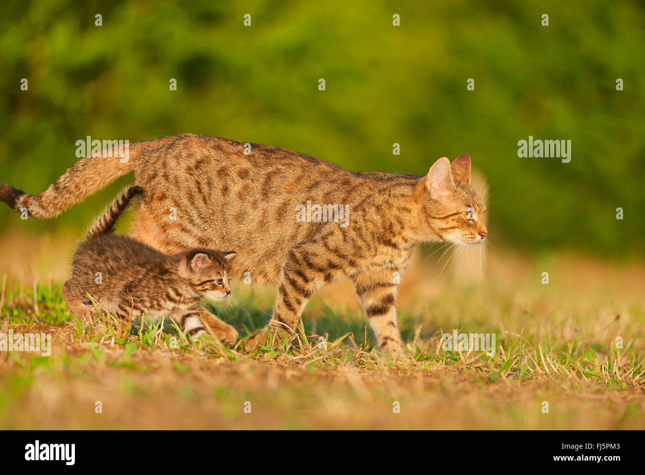 domestic cat, house cat (Felis silvestris f. catus), cat with kitten in a meadow, side view, Germany - Stock Image