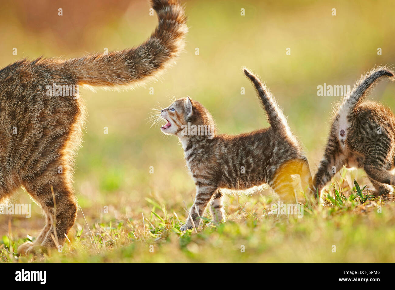 domestic cat, house cat (Felis silvestris f. catus), miaowing kitten with one sibling and mother in a meadow, Germany - Stock Image