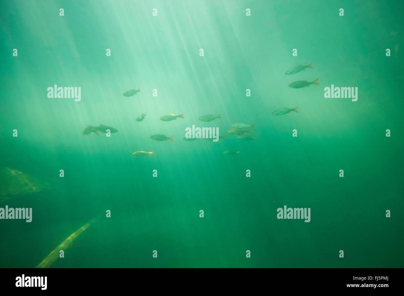 rudd (Scardinius erythrophthalmus), school swimming in a lake, underwater photography, Germany, Bavaria Stock Photo