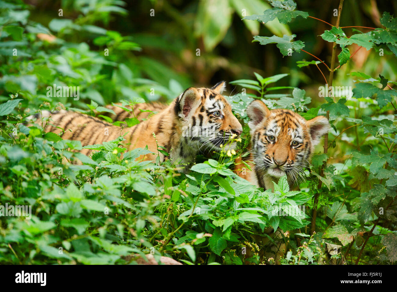 Siberian tiger, Amurian tiger (Panthera tigris altaica), two cups in thicket Stock Photo