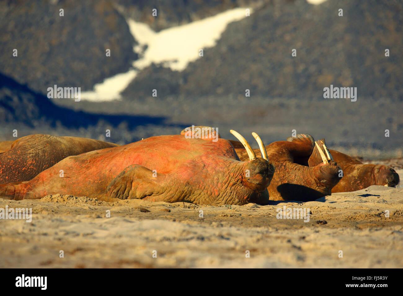 walrus (Odobenus rosmarus), resting walruses, Norway, Svalbard - Stock Image