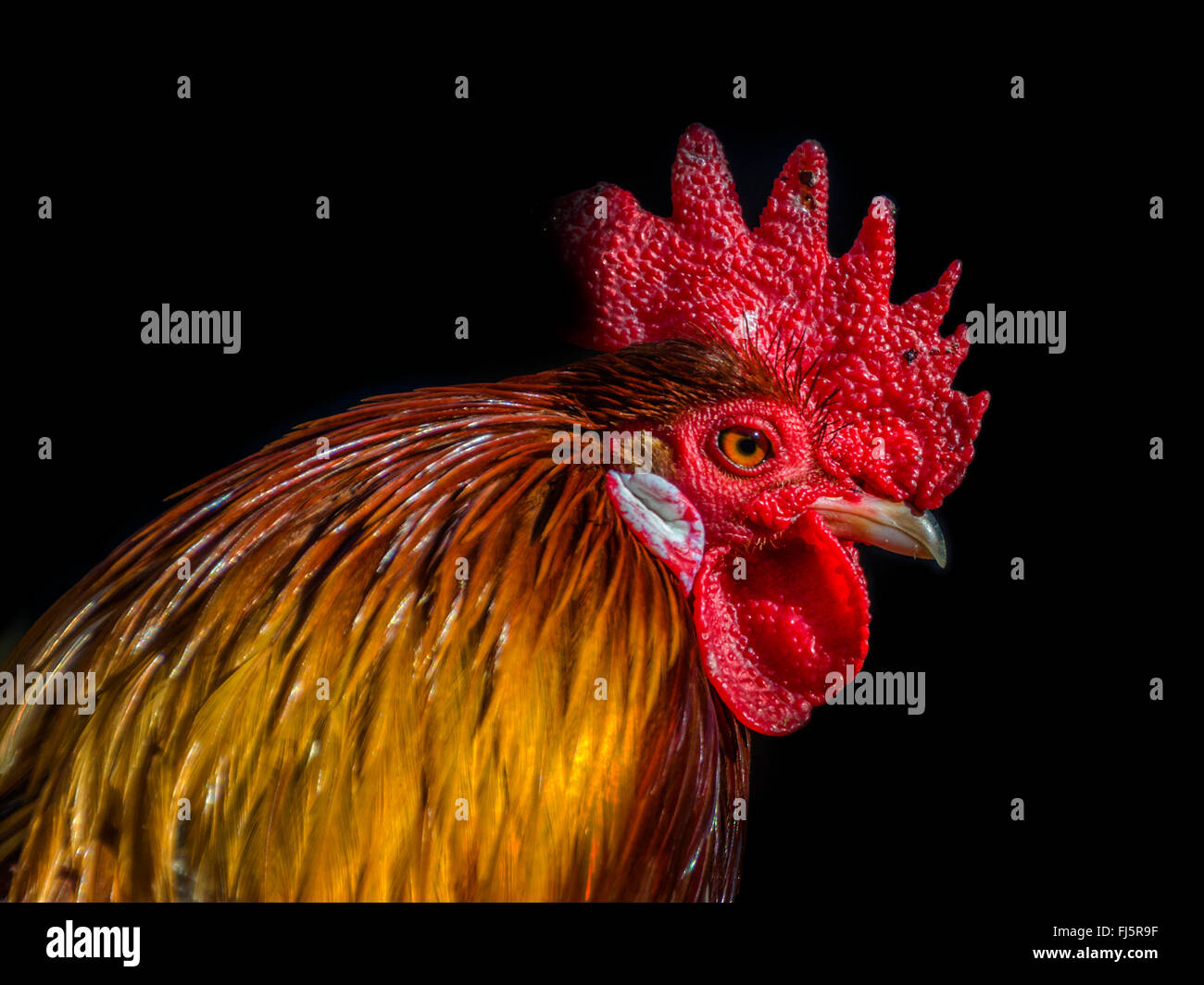 Close up of Rooster's head with black background - Stock Image
