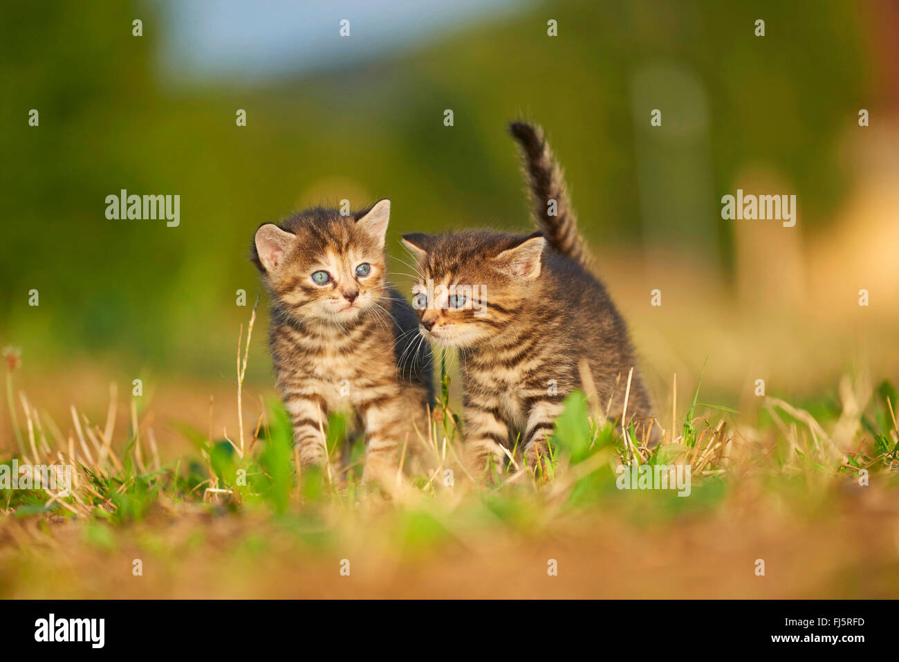 domestic cat, house cat (Felis silvestris f. catus), two five weeks old kitten standing together in a meadow, Germany - Stock Image