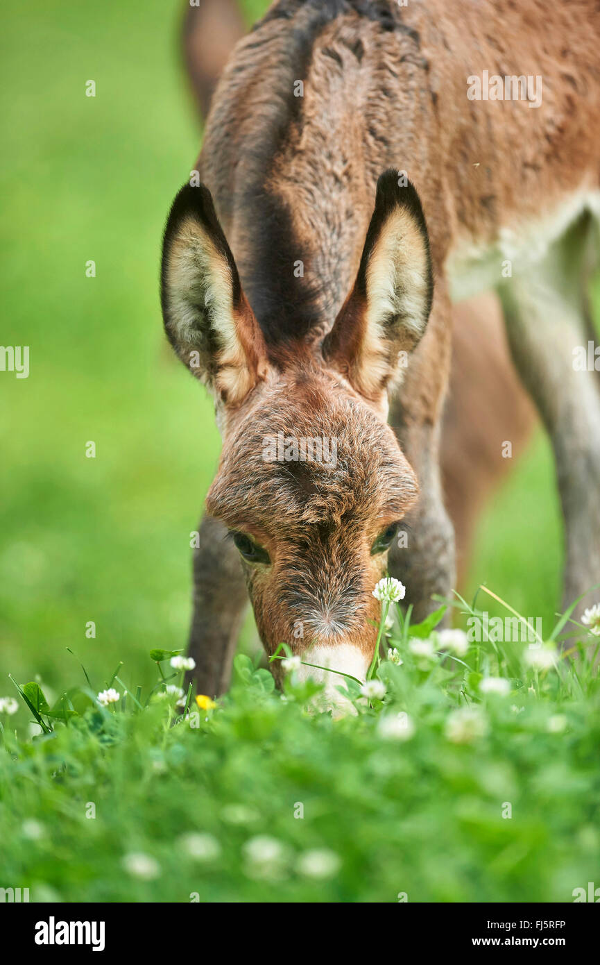 Domestic donkey (Equus asinus asinus), eight hours old donkey foal standing in a meadow, portrait, Germany - Stock Image