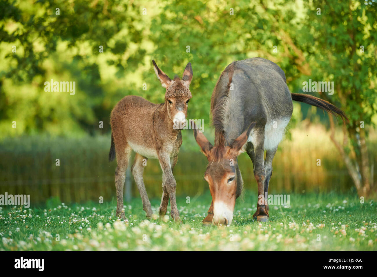 Domestic donkey (Equus asinus asinus), donkey mare with foal in a meadow, Germany - Stock Image