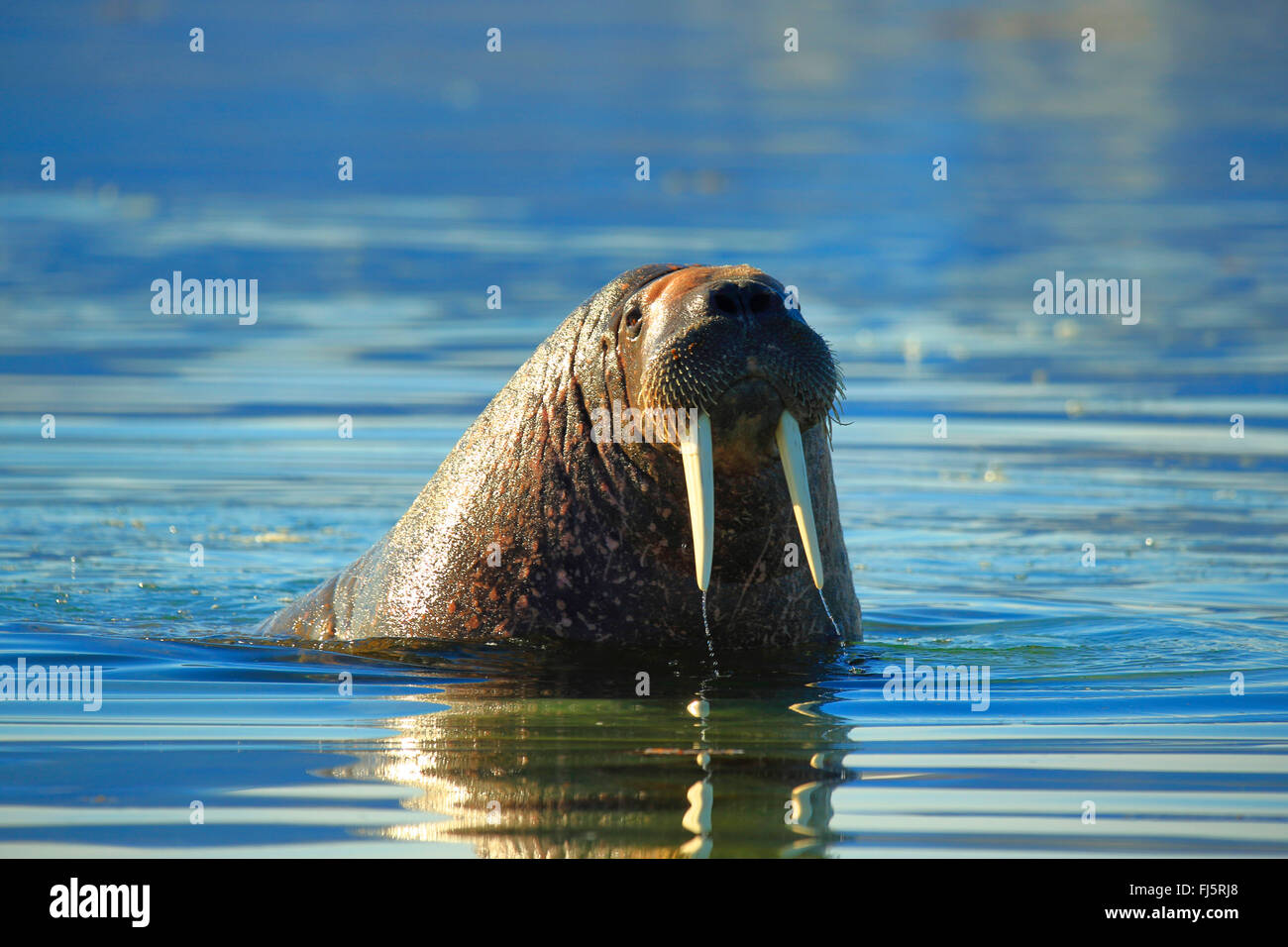 walrus (Odobenus rosmarus), swimming, Norway, Svalbard - Stock Image