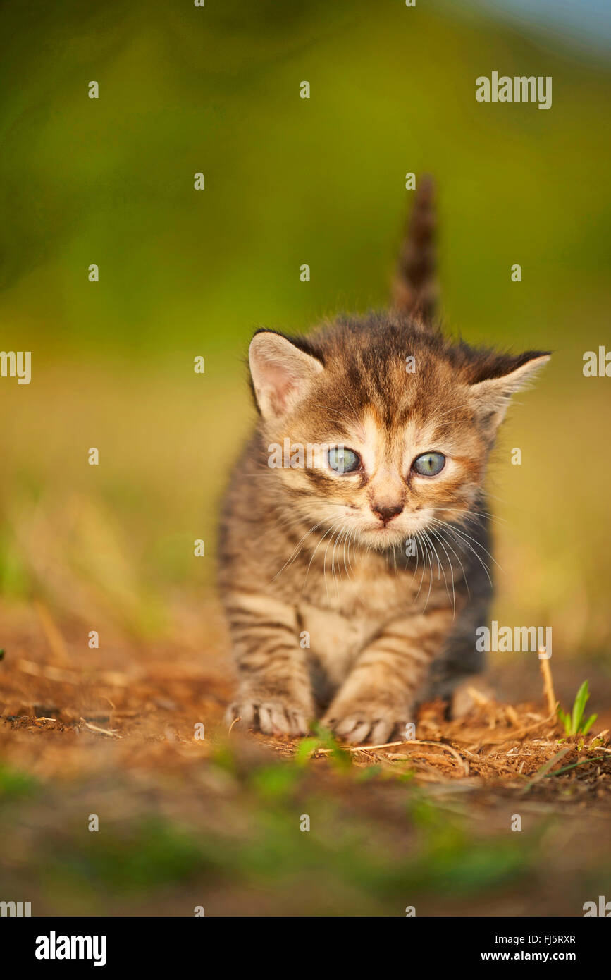 domestic cat, house cat (Felis silvestris f. catus), five weeks old kitten sitting in a meadow, Germany - Stock Image
