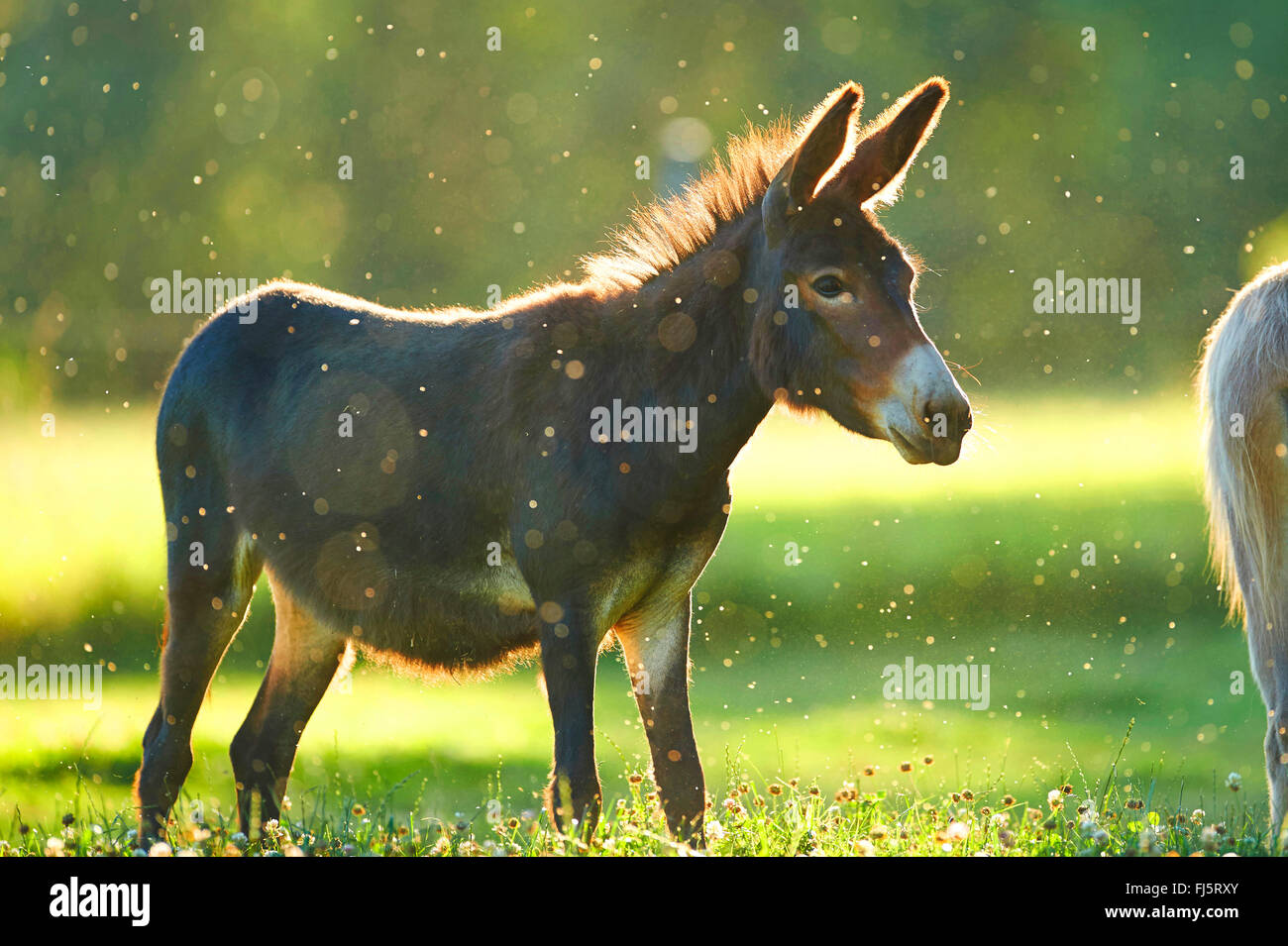 Domestic donkey (Equus asinus asinus), standing in a meadow, Germany - Stock Image