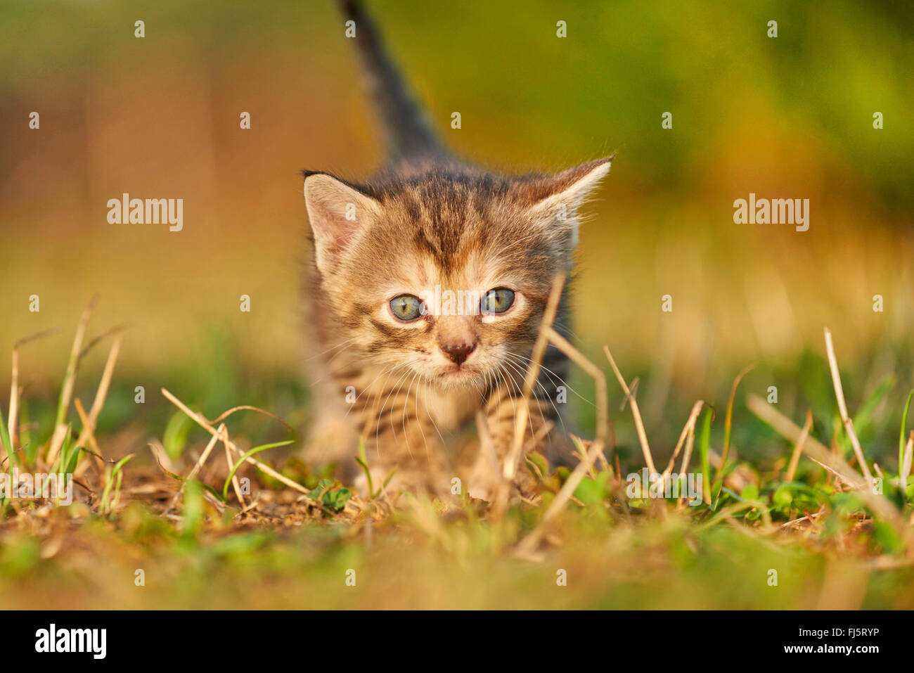domestic cat, house cat (Felis silvestris f. catus), five weeks old kitten standing in a meadow, Germany - Stock Image