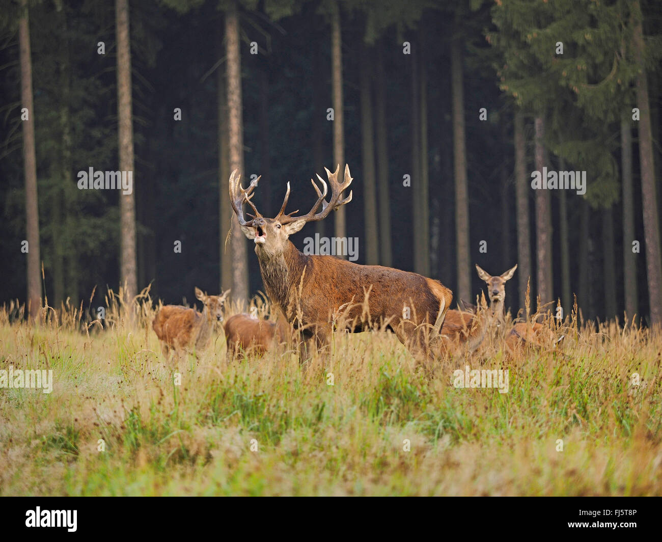 red deer (Cervus elaphus), roaring alpha male with hinds in rutting season, Germany, Saxony - Stock Image