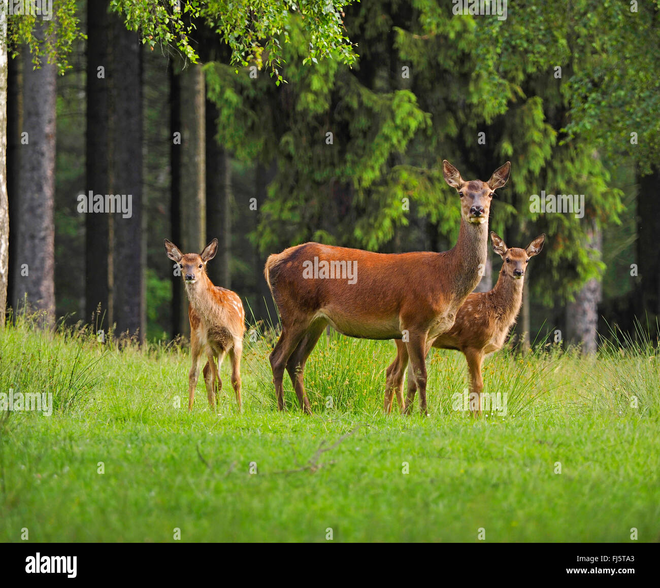 red deer (Cervus elaphus), hind with fawns, Germany, Saxony - Stock Image
