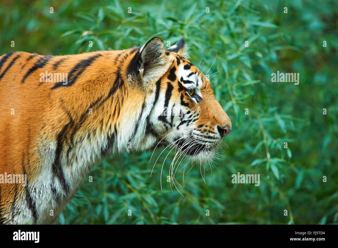 Siberian tiger, Amurian tiger (Panthera tigris altaica), portrait - Stock Image