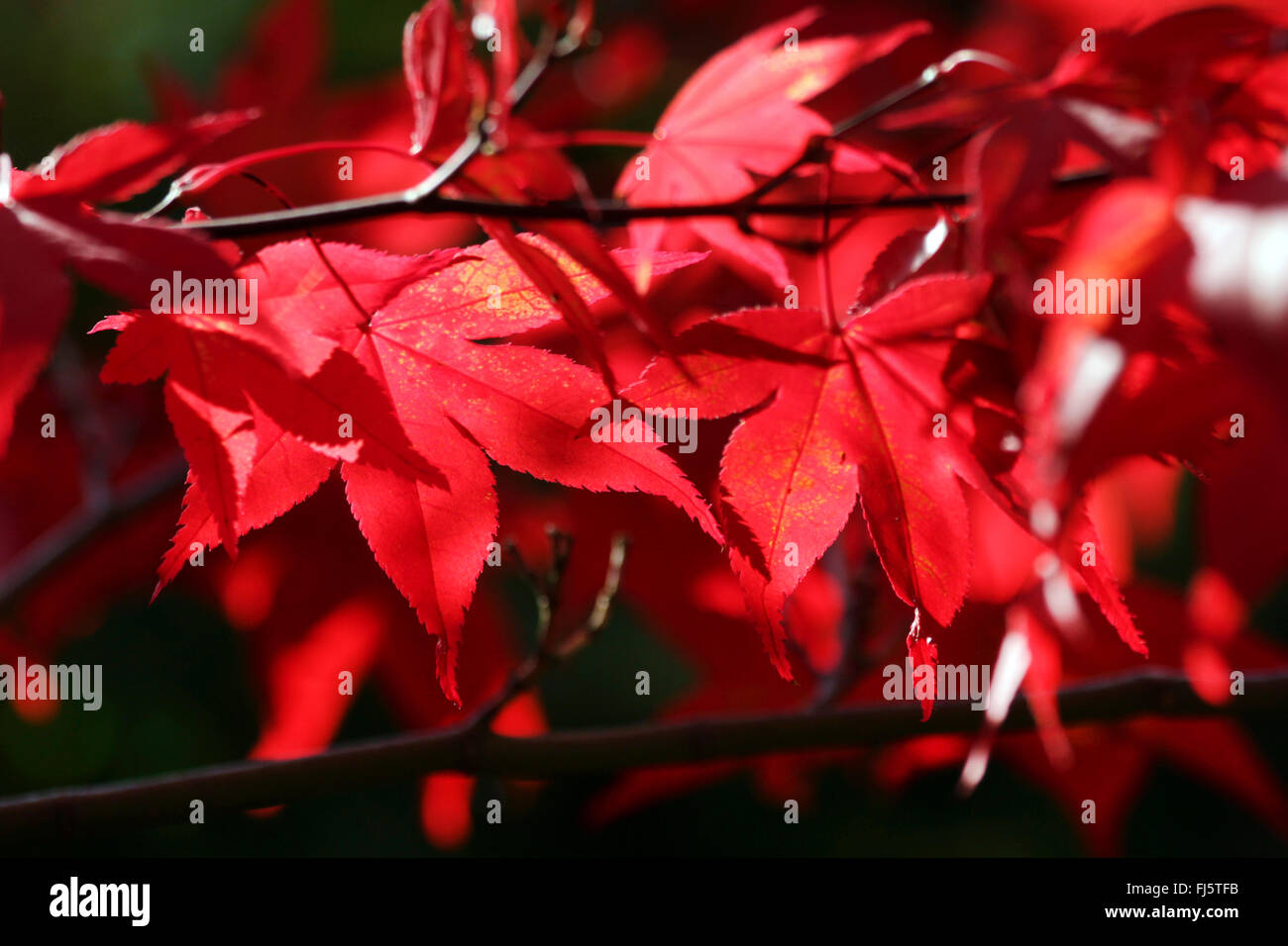 Japanese maple (Acer palmatum), autumn leaves Stock Photo