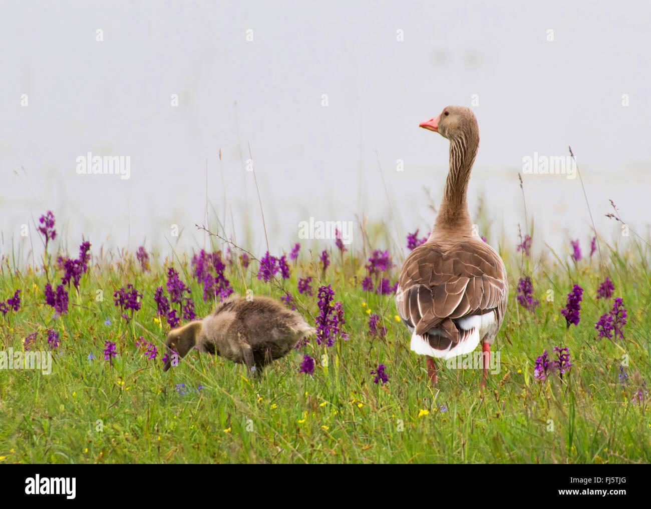 greylag goose (Anser anser), watchful greylag goose mother in an orchid meadow, Austria, Burgenland - Stock Image