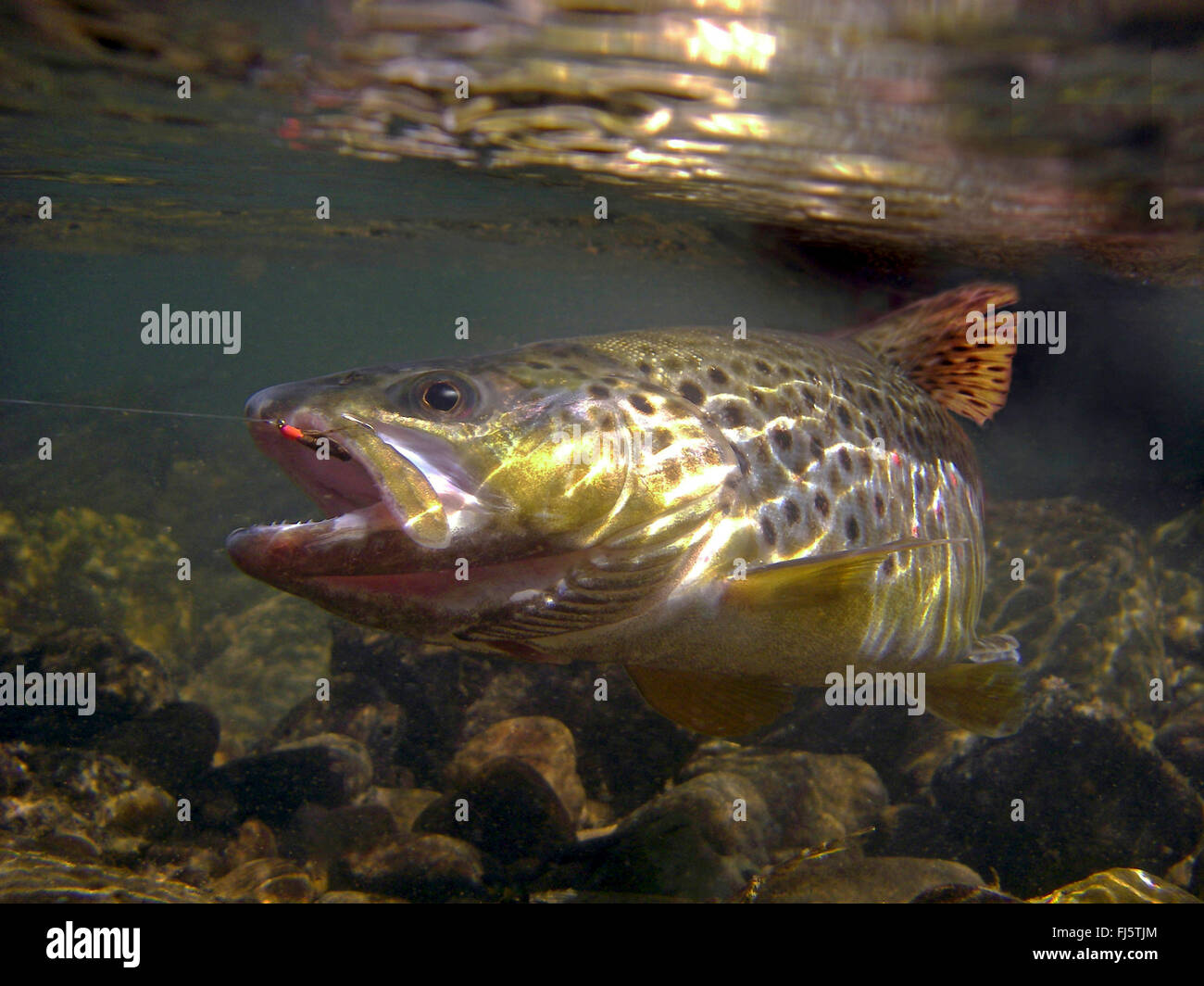 brown trout, river trout, brook trout (Salmo trutta fario), in its habitat, Germany, Baden-Wuerttemberg Stock Photo