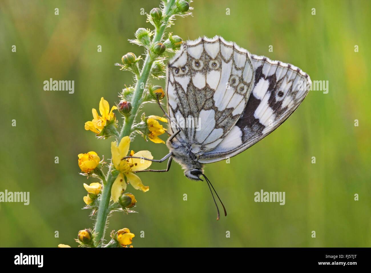 marbled white (Melanargia galathea), sitting on agrimony, Germany - Stock Image