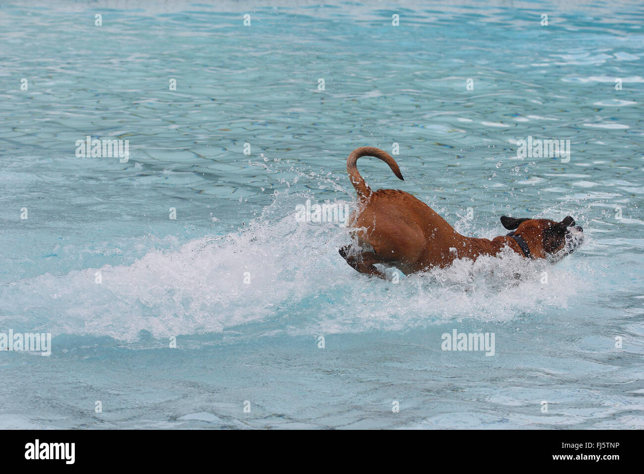 mixed breed dog (Canis lupus f. familiaris), six years old boxer mixed breed dog jumping in the water of a swimming - Stock Image