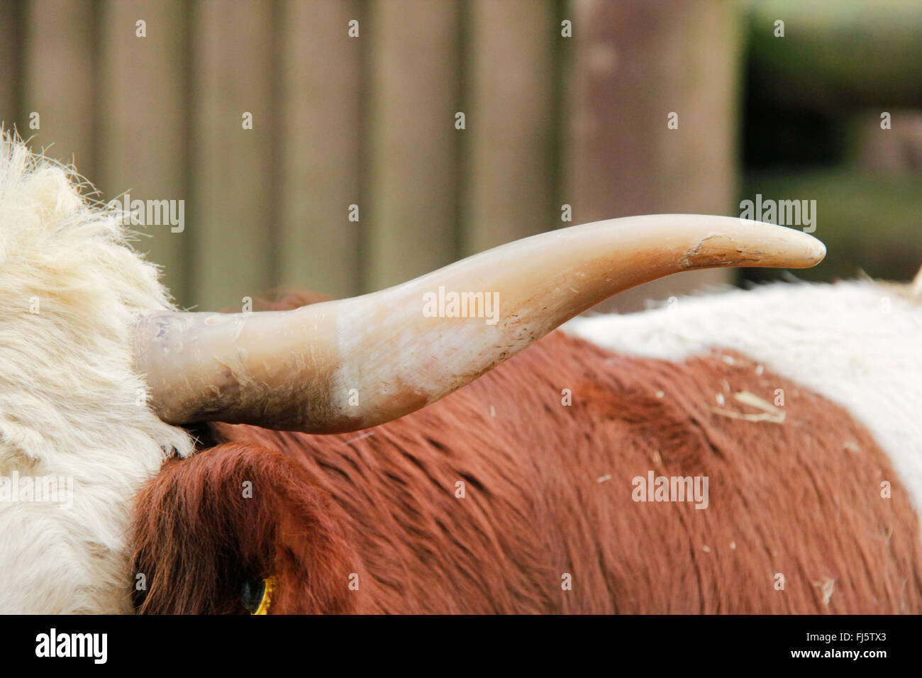 Hinterwald, Hinterwaelder-Rind, Hinterwaelder cattle (Bos primigenius f. taurus), horn, Germany - Stock Image