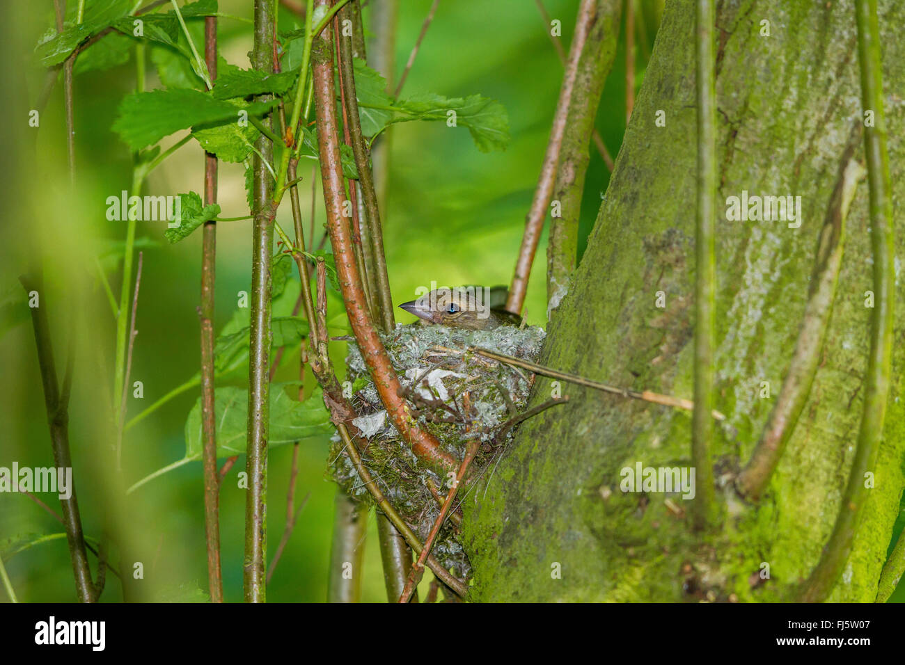 chaffinch (Fringilla coelebs), female in the nest, Germany, Mecklenburg-Western Pomerania - Stock Image