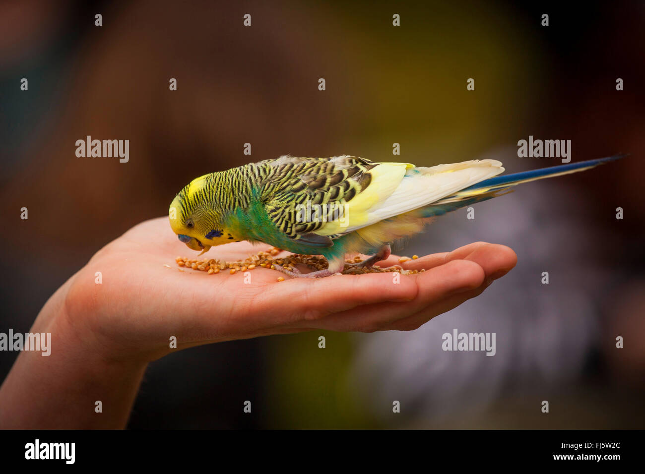 budgerigar, budgie, parakeet (Melopsittacus undulatus), gentle budgie sitting on a hand and feeding, side view - Stock Image